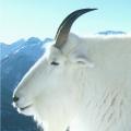 Mt_Goat